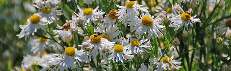 090720_Growing_Tips_for_Late_Summer_to_Fall_Blooming_Boltonia_Asteroides-THUMB.jpg