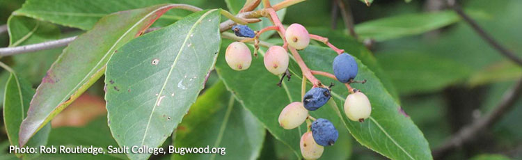 121420_Growing_Native_Witherod_Viburnum-THUMB.jpg