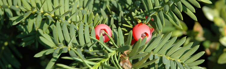 Pruning Yew In Summer Melinda Myers