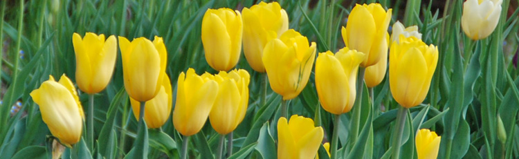Tulip-Flowers-Have-Mutated-to-Yellow-THUMB.jpg