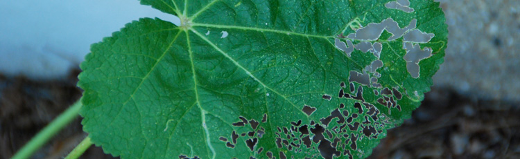 Hollyhock-Leaves-Look-Like-Lace-THUMB.jpg