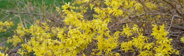 032816_Forsythia_the_Harbinger_of_Spring.jpg