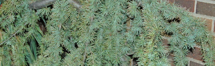 112818_Dwarf_Evergreens_for_Any_Size_Landscape-THUMB.jpg