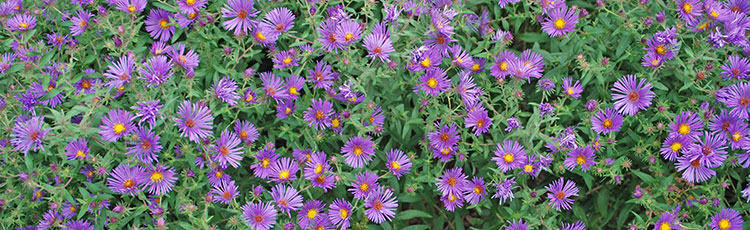 092120_Selecting_Asters_for_Your_Garden.jpg