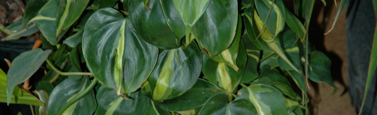 030716_Easy_Care_Philodendron.jpg