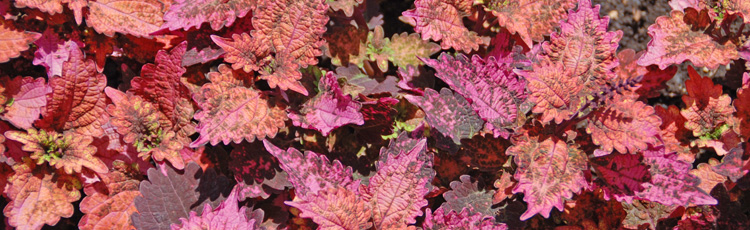 060316_Add_Some_Pizzazz_with_Coleus.jpg