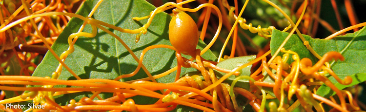 Orange-Vine-Growing-on-Shrubs-THUMB.jpg