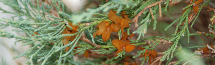 042216_Cedar_Apple_Quince_or_Hawthorn_Rust.jpg