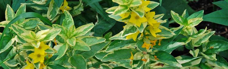 Yellow loosestrife melinda myers yellow loosestrife mightylinksfo