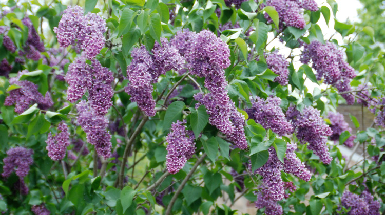 Coaxing-Transplanted-Lilac-to-Bloom.jpg
