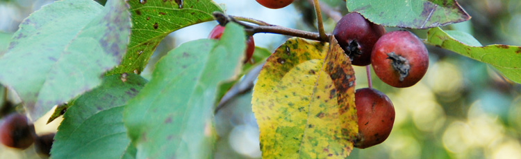 Spotted-Yellowing-Leaves-on-Crabapple-THUMB.jpg