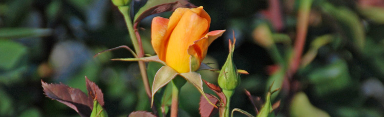 Rose-Buds-Turned-Brown-and-Never-Opened.jpg