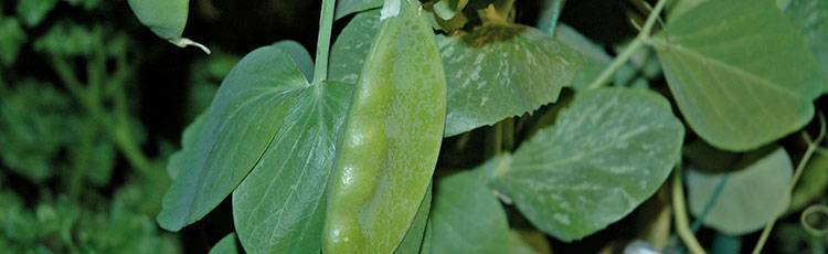 011521_Growing_Peas_Indoors.jpg