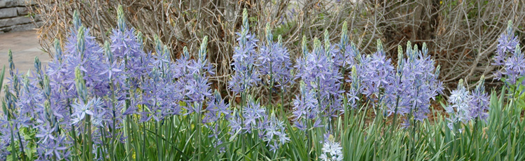 050615_Add_a_Bit_of_Blue_to_the_Spring_Garden_with_Camassia.jpg