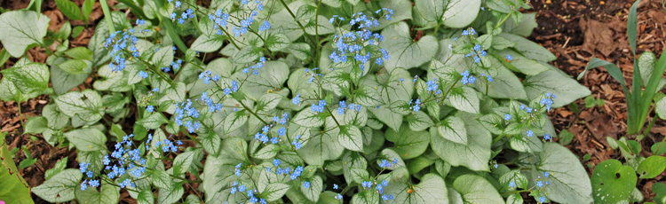 2011_283_MGM_Jack_Frost_Brunnera_Perennial_Plant_of_the_Year.jpg