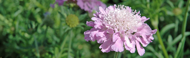 Pointers-on-Pincushion-Flower.jpg