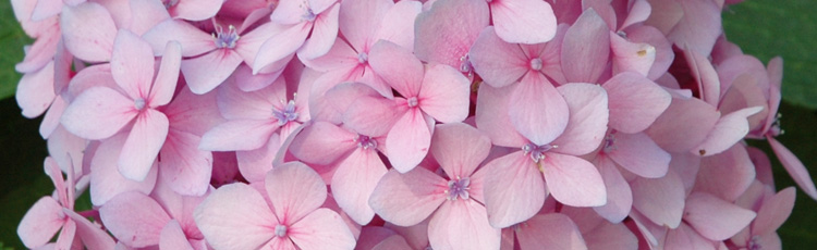 Pink-Flowered-Hydrangea-Hasnt-Bloomed-THUMB.jpg