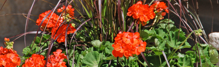 Geraniums-Changed-Color-THUMB.jpg