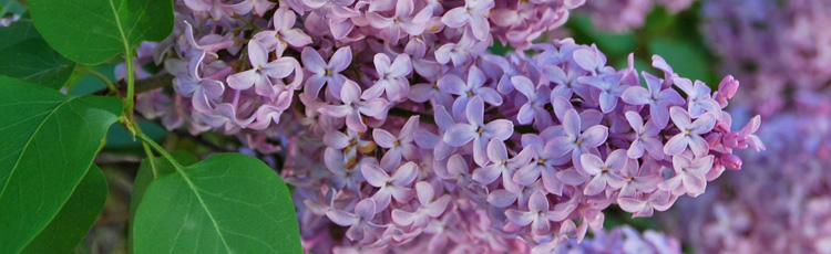 Keep-Cut-Lilac-Flowers-Fresh-THUMB.jpg
