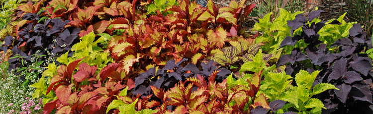 021815_The_National_Garden_Bureau_Names_2015_The_Year_of_the_Coleus.jpg