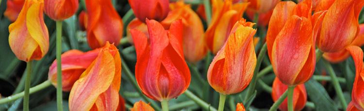 Care Of Tulips And Hyacinths Melinda Myers