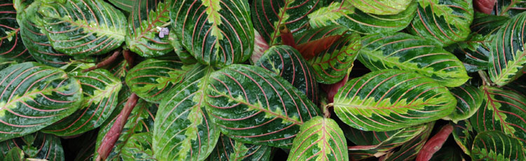 Brown-Leaves-on-Prayer-Plant.jpg