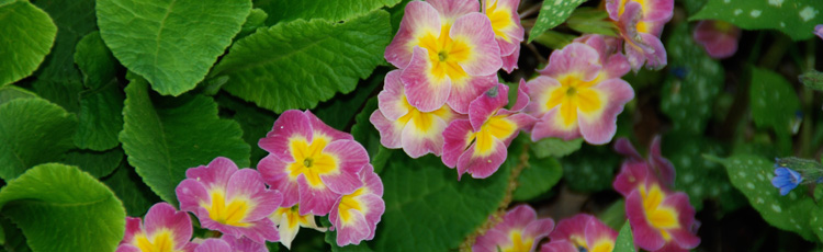 Winter-Care-for-Primrose.jpg