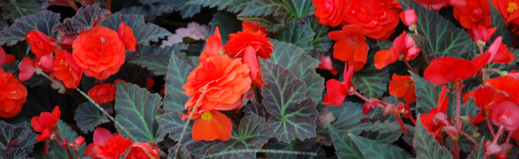Difference-Between-Non-Stop-and-Tuberous-Begonias-THUMB.jpg