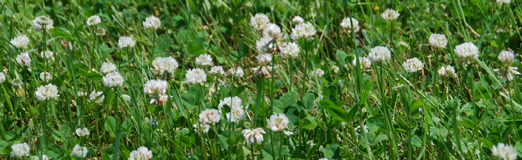 Clover-in-the-Lawn-THUMB.jpg