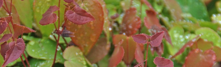 062117_New_Epimedium_Barrenwort_varieties_for_the_Shade.jpg