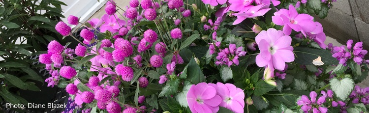 052917_Gomphrena_also_known_as_Globe_Amaranth.jpg