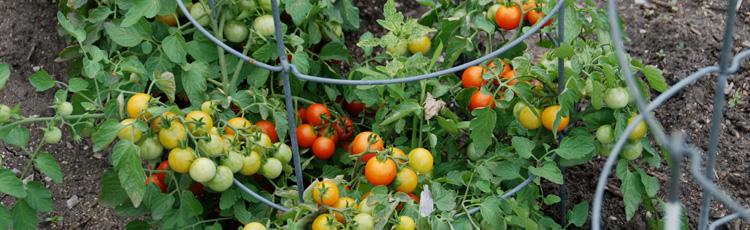 050115_Save_Money_and_Still_Have_a_Big_Tomato_Harvest.jpg