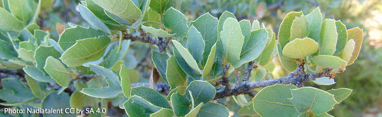 Growing-Live-Oak-as-Houseplant.jpg