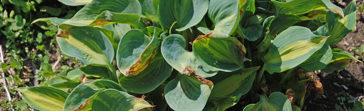Hosta-with-Funny-Looking-Leaves-THUMB.jpg