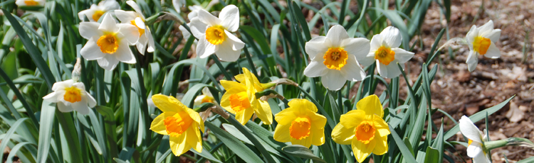 022515_Extend_the_Vase_Life_of_Daffodils.jpg