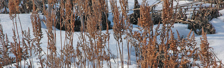 Winter-Care-for-Perennials.jpg