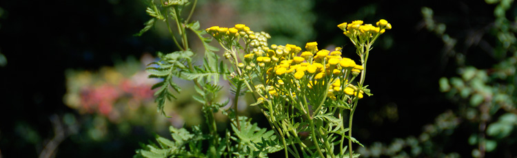 Controlling-the-Size-of-Tansy.jpg