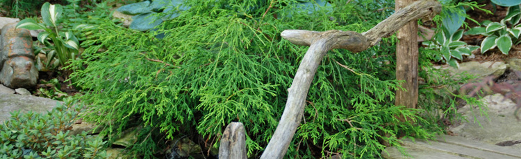 Planting-and-Growing-False-Cypress-THUMB.jpg