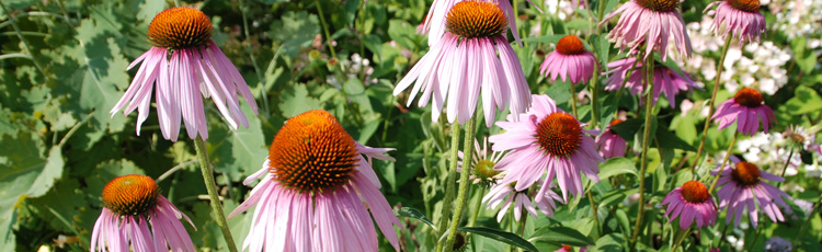 Purple-Coneflower-Wilting-and-Turning-Brown-THUMB.jpg