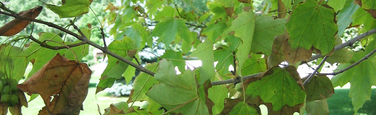 Edges-of-Maple-Leaves-Turning-Black-THUMB.jpg
