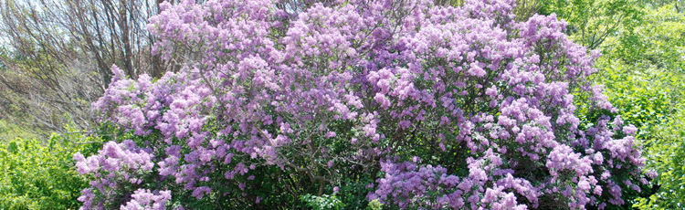 Start-Lilac-from-Cuttings-THUMB.jpg