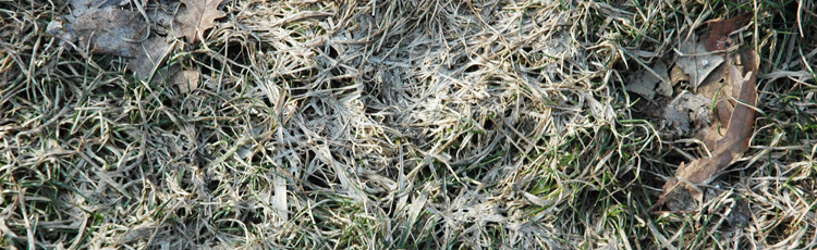 Snow-Mold-in-the-Spring-Lawn-THUMB.jpg
