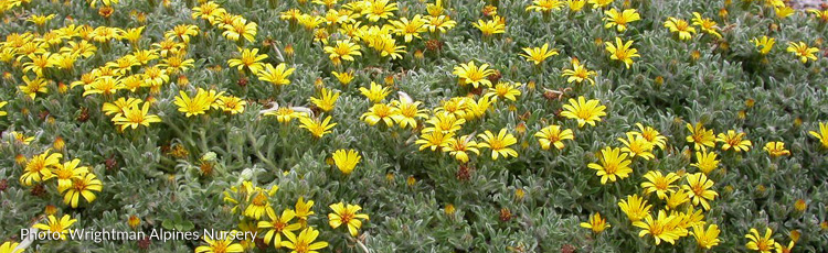 091615_Brighten_Garden_with_Goldhill_Golden_Aster.jpg