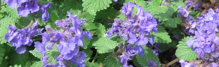 2013_459_MGM_Junior_Walker_Catmint.jpg