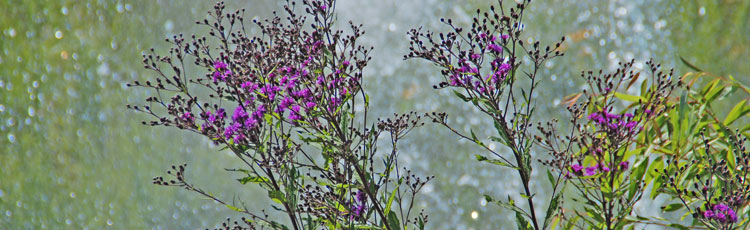 042919_Perennial_Ironweed_Vernonia_for_the_Garden.jpg