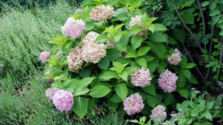 Blue-Flowered-Hydrangea-is-Now-Pink.jpg
