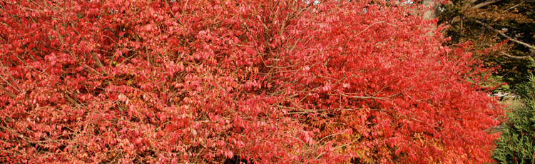Planting-Burning-Bush-in-the-Fall-THUMB.jpg