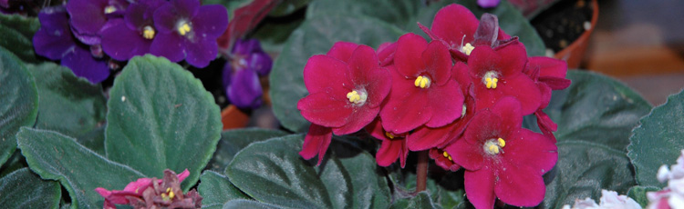 012414_Caring_for_and_Reblooming_African_Violets.jpg