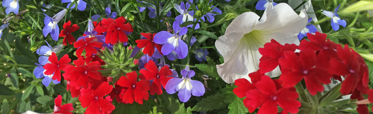 2011_210_MGM_Plant_a_Patriotic_Red_White_and_Blue_Garden.jpg