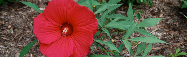 Will-Hardy-Hibiscus-Come-True-from-Seed.jpg